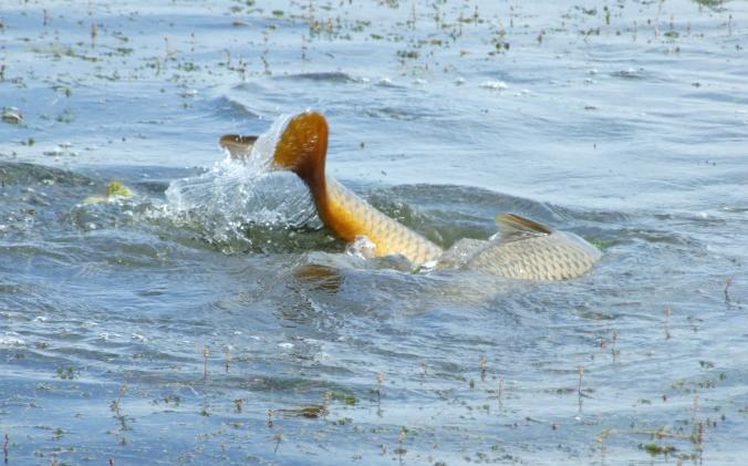 spawning bass 8 may 19 10