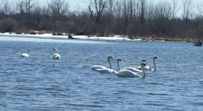 swans april 2015 c