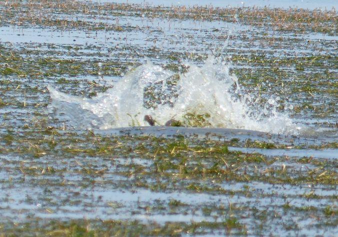 carp spawning may 24 2016